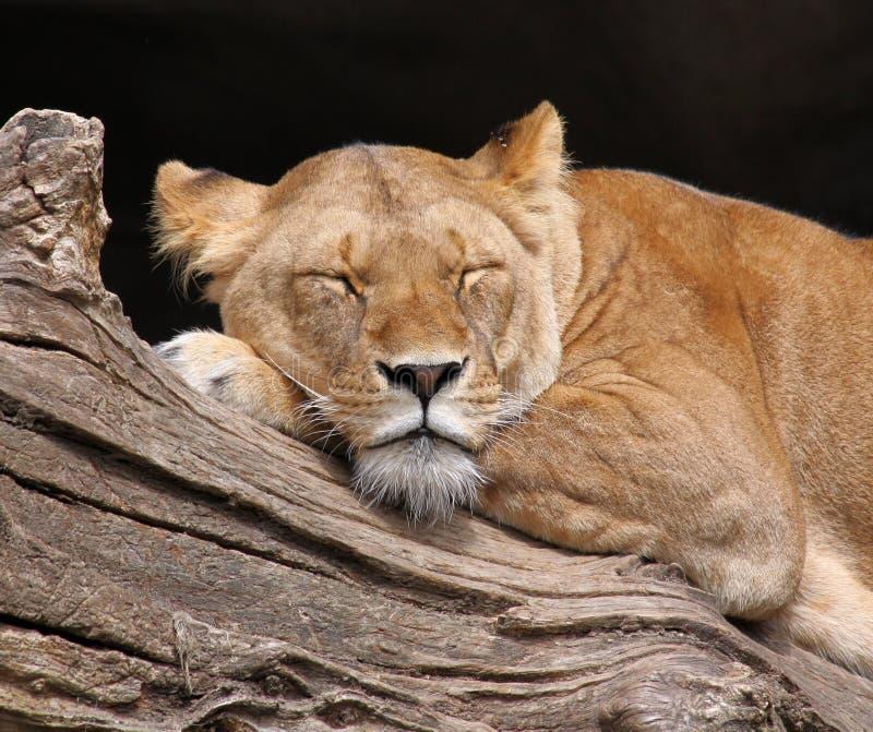 Sleeping lion - Portrait royalty free stock photo