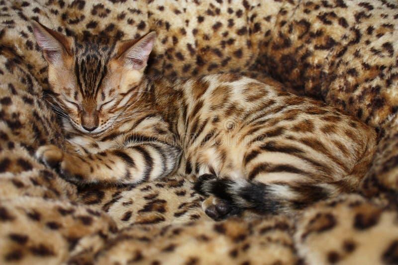Sleeping little bengal cat. Cute little bengal cat sleeps in the cat basket stock photography