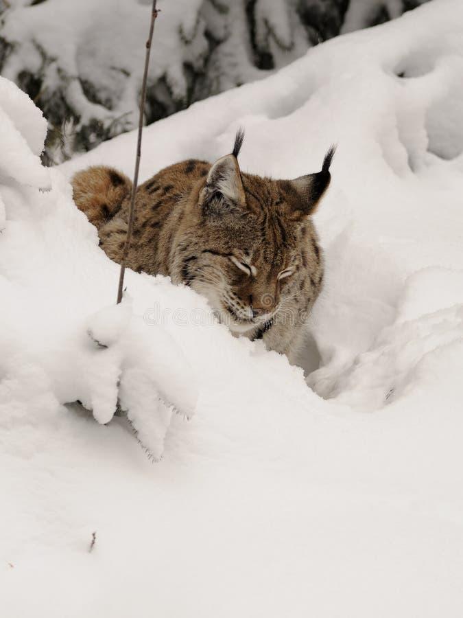 Sleeping Lynx royalty free stock image