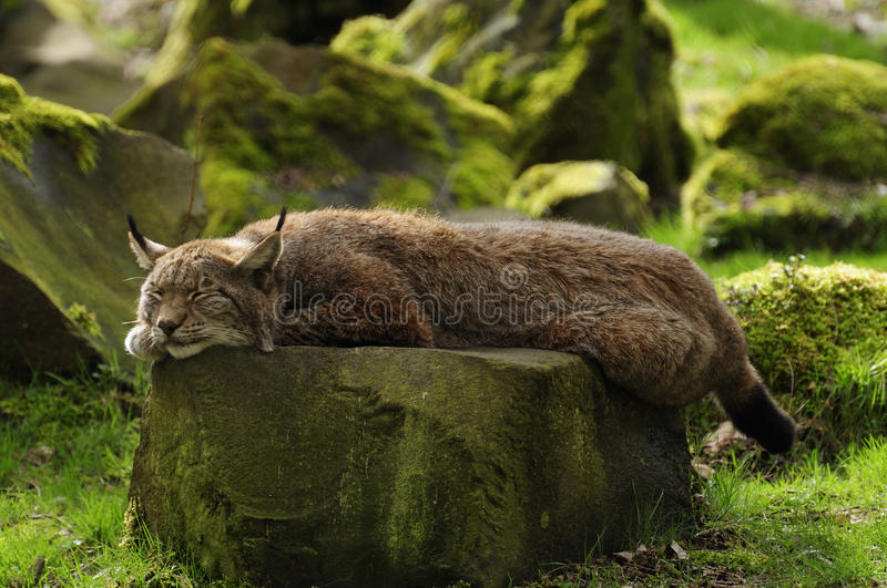Sleeping Lynx. The Eurasian lynx is a medium-sized cat who lives in the European and Siberian forests. Sadly it `s nearly impossible to find this predator stock photo