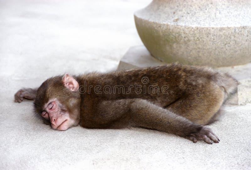 Sleeping monkey royalty free stock photos