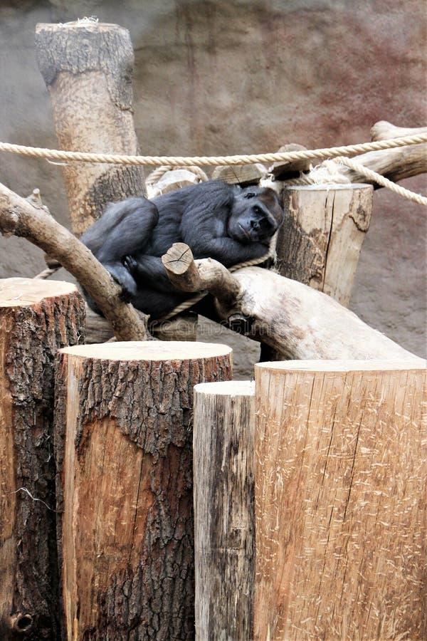 Sleeping monkey in the zoo aviary in Prague, Czech Republic. stock photos