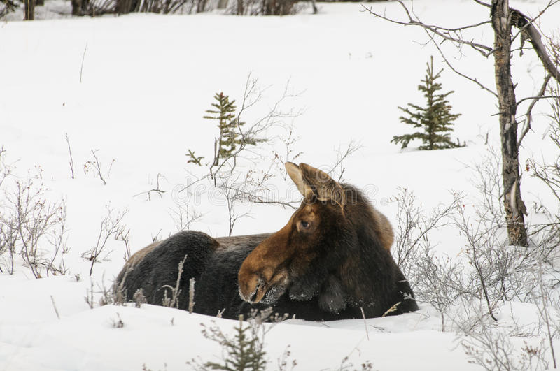Sleeping Moose. Wild moose resting in a snow covered mountain meadow royalty free stock photography