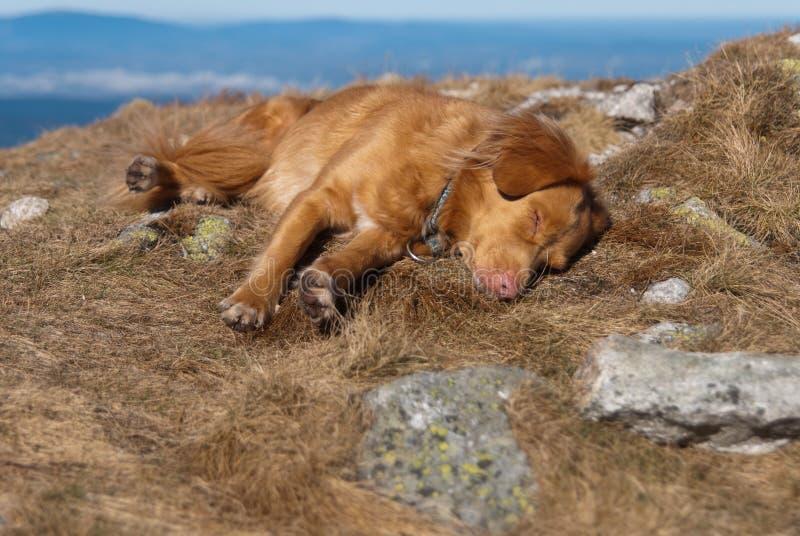 Sleeping Nova Scotia retriever