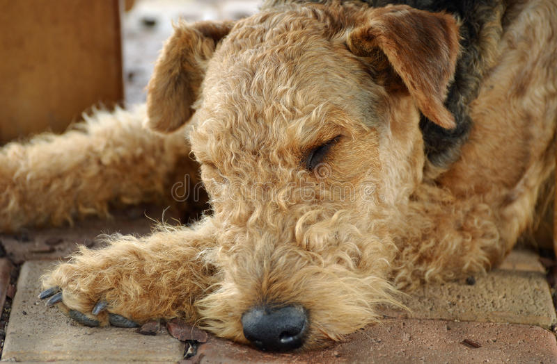 Sleeping old dog royalty free stock photos