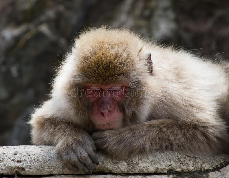 Sleeping Old Man Monkey. Close up of an older snow monkey or Japanese macaque perched on a rock slab and taking a nap royalty free stock photos