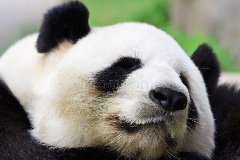 Sleeping Panda royalty free stock images