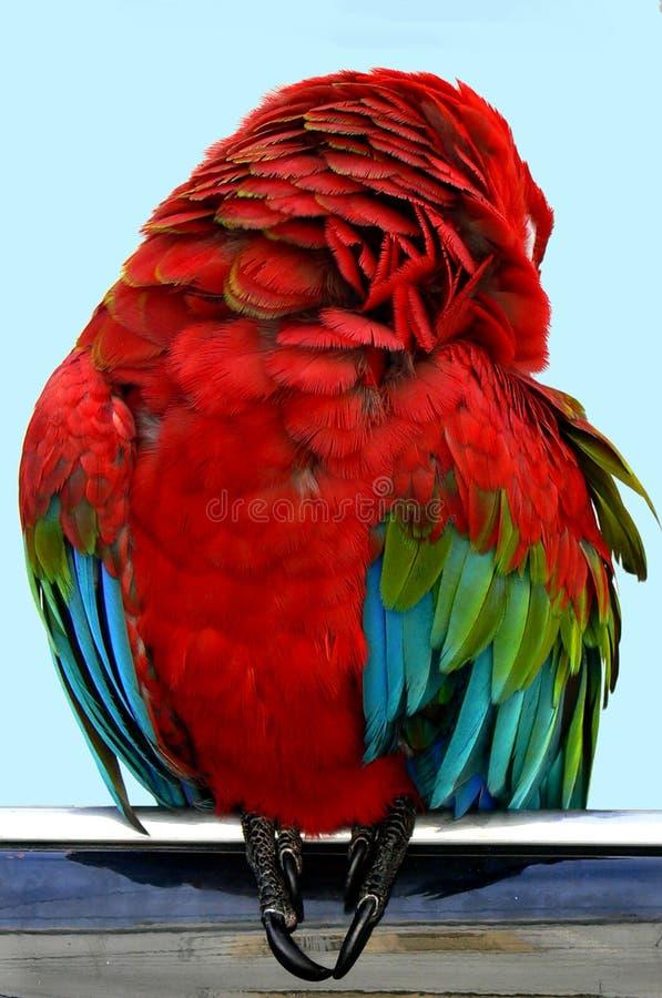 Sleeping parrot royalty free stock photos