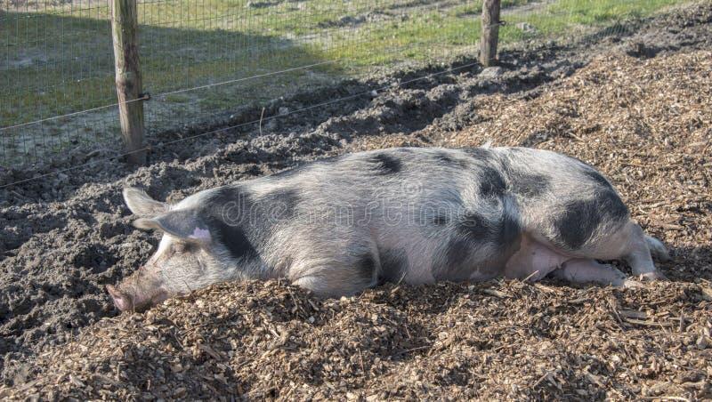 Download Sleeping pig stock photo. Image of food, farm, mammal - 29673570