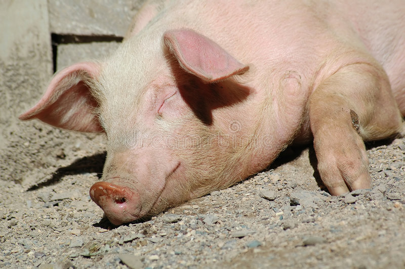 Sleeping pig stock photography