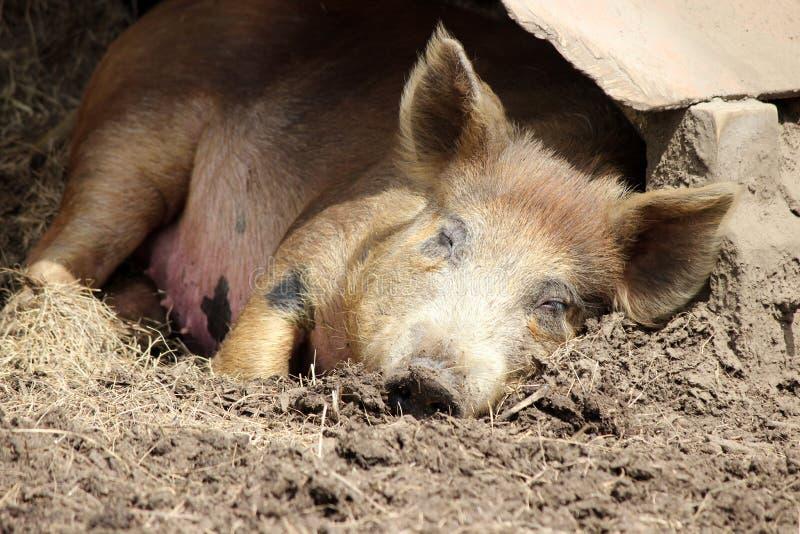 Sleeping Pig royalty free stock photos