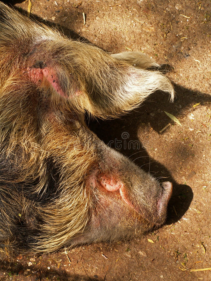 Sleeping pig in the sunshine. A sleeping pig in the sunshine royalty free stock photos