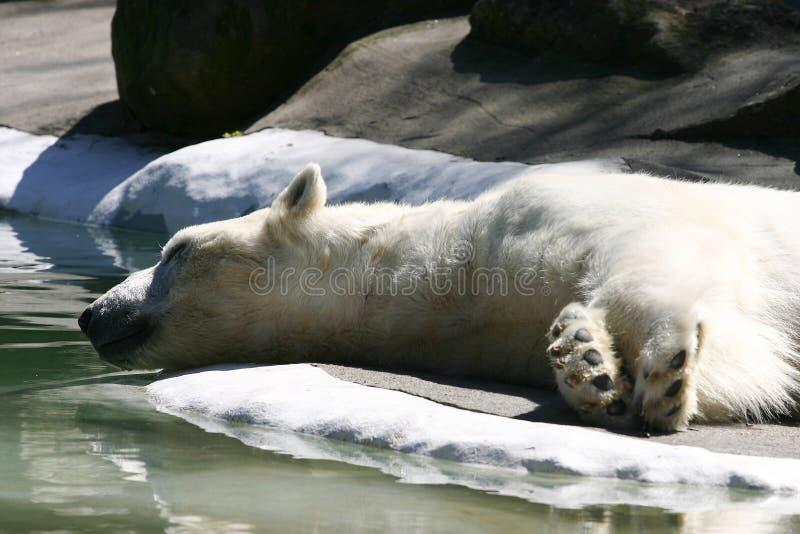 Sleeping Polar Bear. Next to water on ice. Taken at the Bronx Zoo stock image