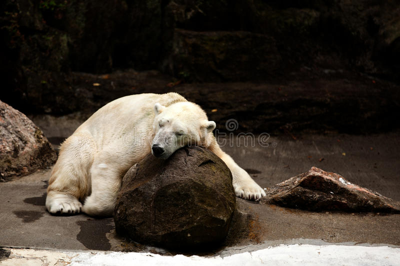 Sleeping polar bear. At bronx zoo royalty free stock photography