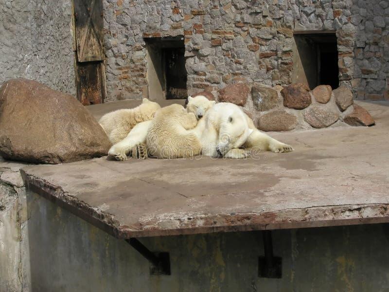 Sleeping polar bears in zoo stock photography