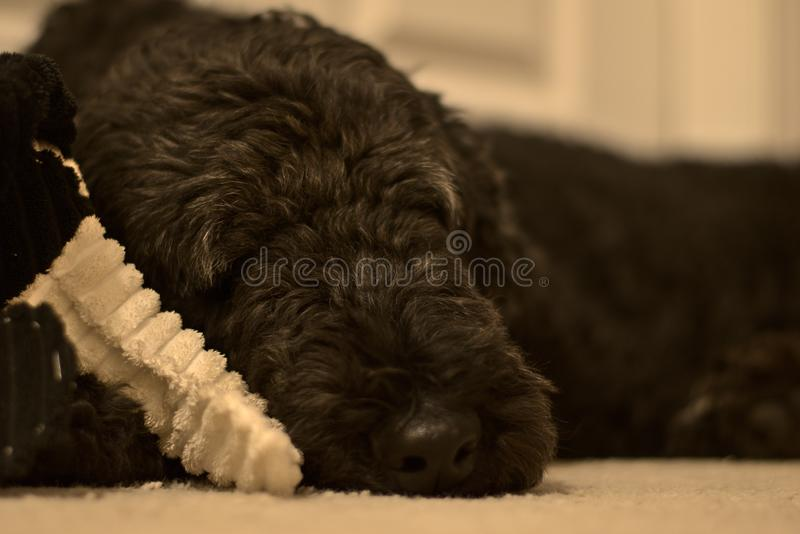 Sleeping poodle with toy. Black poodle sleeping royalty free stock images