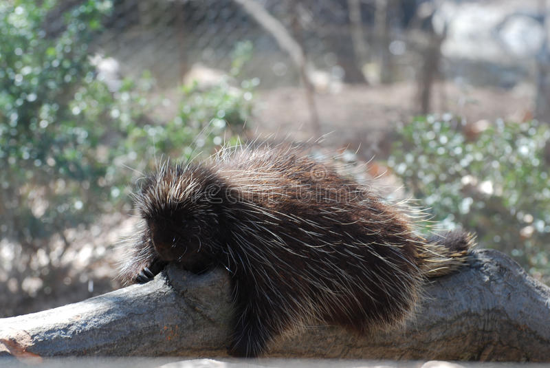 Sleeping Porcupine with Lots of Quills. Porcupine resting on a log with lots of quills royalty free stock image