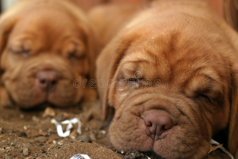 Sleeping Puppies. A close up on Dogue de Bordeaux Puppies royalty free stock images