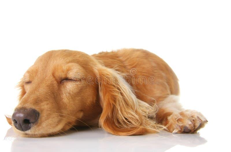 Sleeping puppy stock photography
