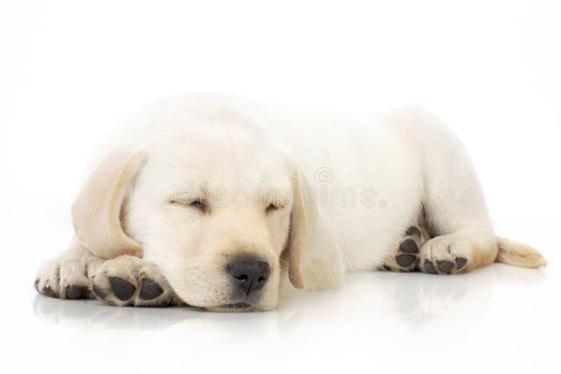 Sleeping puppy stock photos