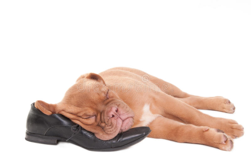 Download Sleeping puppy stock image. Image of glamour, molosse - 15490307