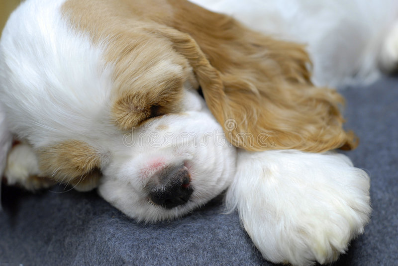 Sleeping puppy stock images
