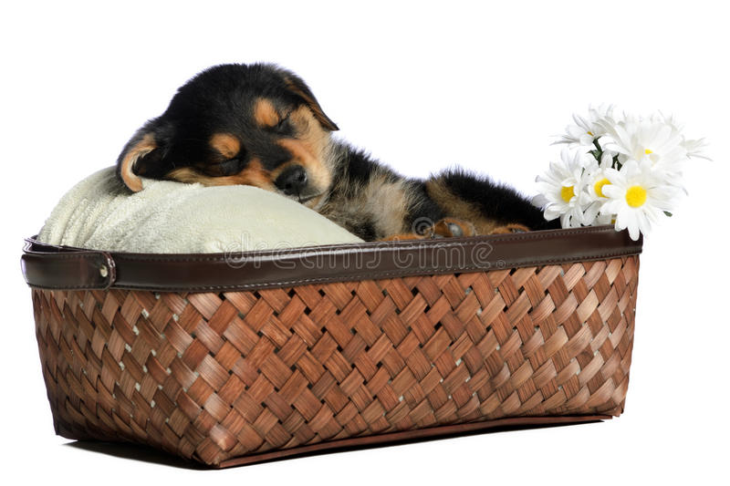 Download Sleeping Puppy Stock Photos - Image: 19708703