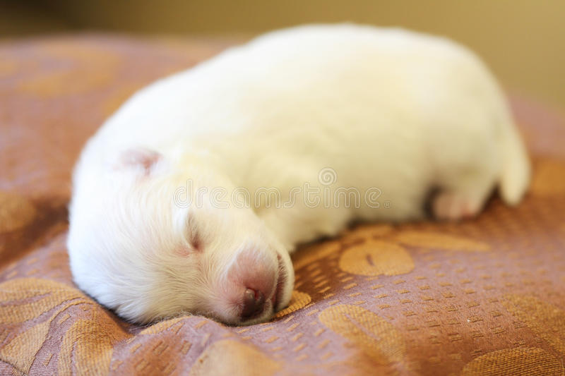 Download Sleeping puppy stock image. Image of portrait, puppy - 24844265