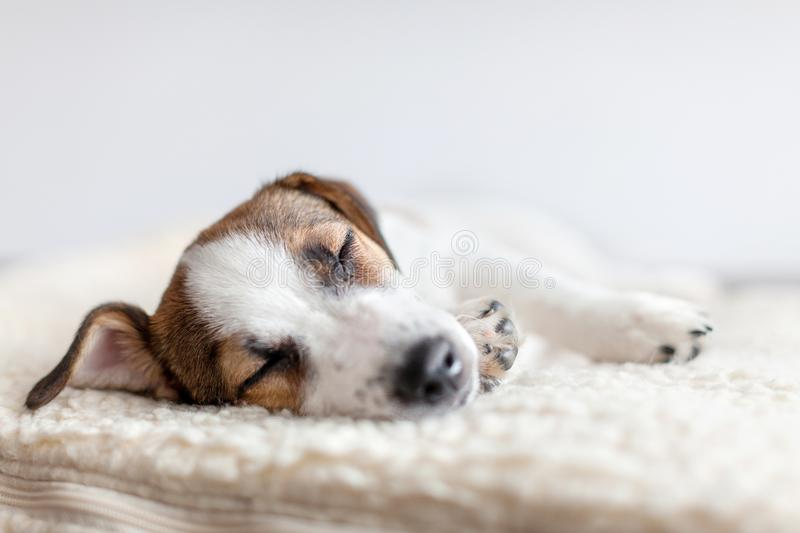 Sleeping puppy on dog bed. Dog jackrussell at home royalty free stock photos