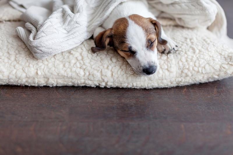 Sleeping puppy on dog bed. Dog jackrussell at home royalty free stock photo