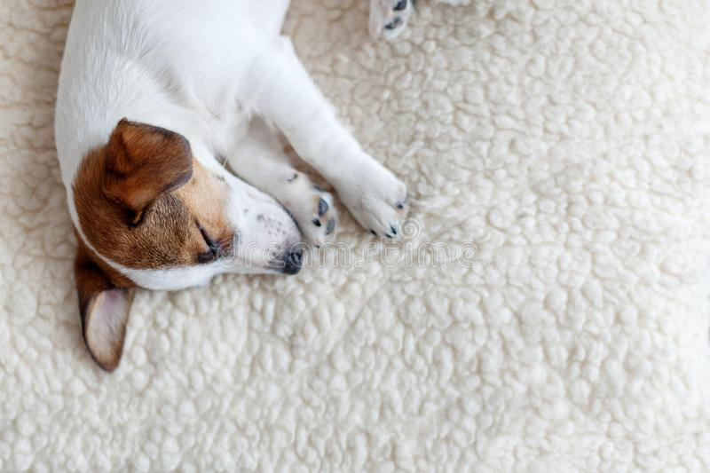 Sleeping puppy on dog bed. Dog jackrussell at home stock photos