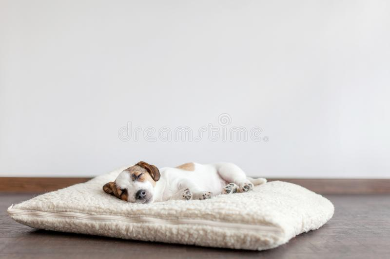 Sleeping puppy on dog bed. Dog jackrussell at home stock image