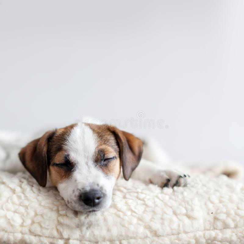 Sleeping puppy on dog bed. Dog jackrussell at home stock photo