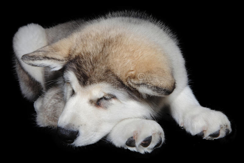 Sleeping puppy dog royalty free stock image