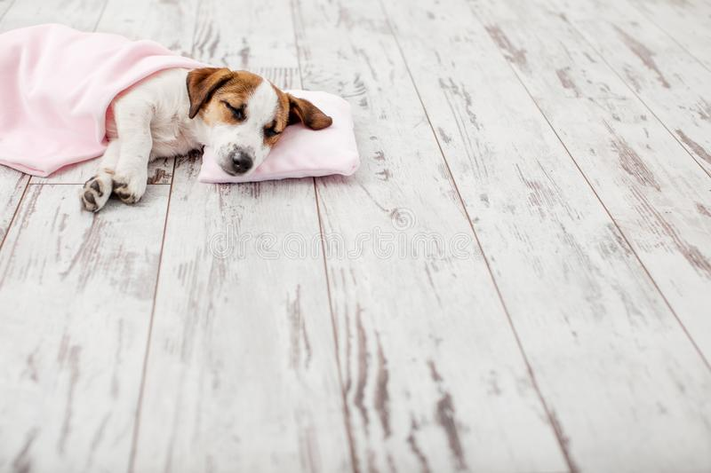 Sleeping puppy on small pillow. Dog jack russell at home stock photo