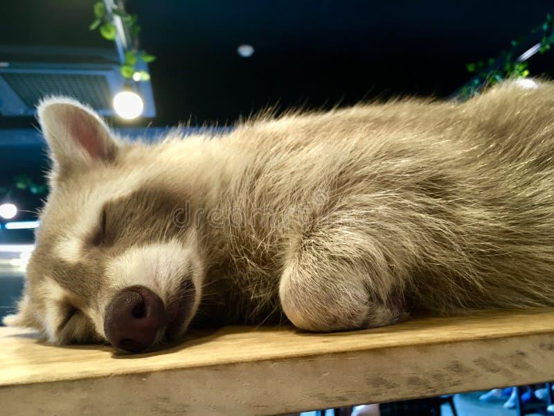 Sleeping Raccoon Procyon lotor with light grey fur stock image