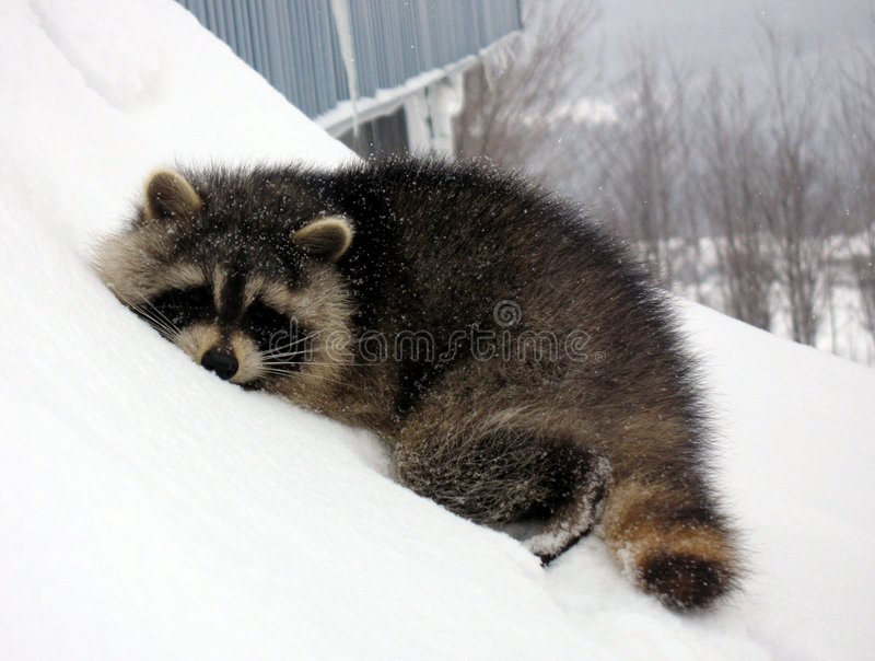Sleeping Raccoon On Snow Royalty Free Stock Photography