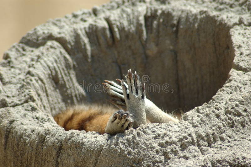 Download Sleeping Racoon stock image. Image of hollow, striped, stump - 169959