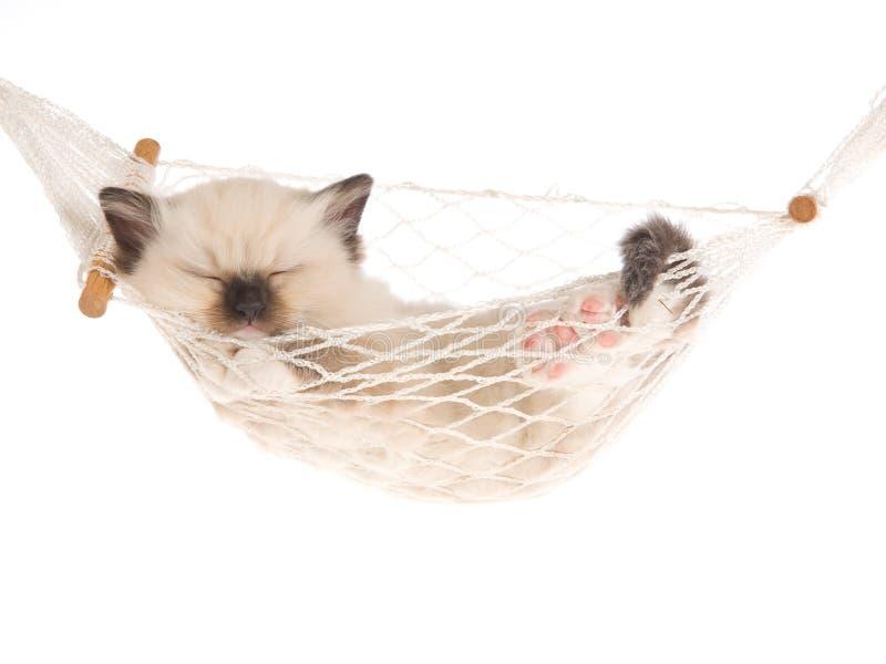 Sleeping Ragdoll kitten in white hammock. Ragdoll kitten sleeping inside mini white hammock, on white background stock image