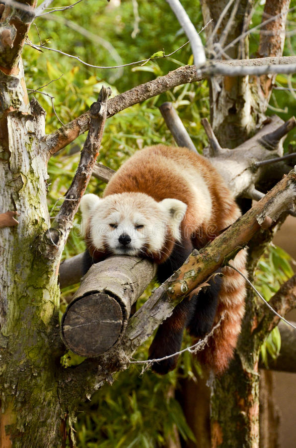 Sleeping Red Panda. A red panda sleeping in a tree at the san diego zoo in southern california stock photo