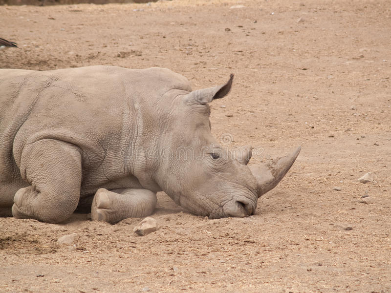 Sleeping Rhino stock photography