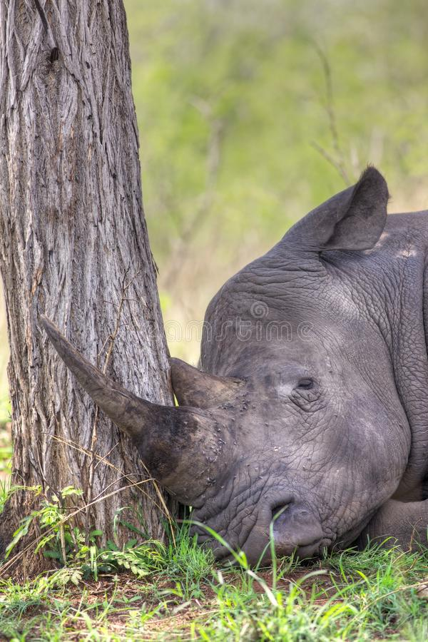 Sleeping Rhino. A white rhino (Ceratotherium simum) sleeping in the Kruger National Park, South Africa royalty free stock image