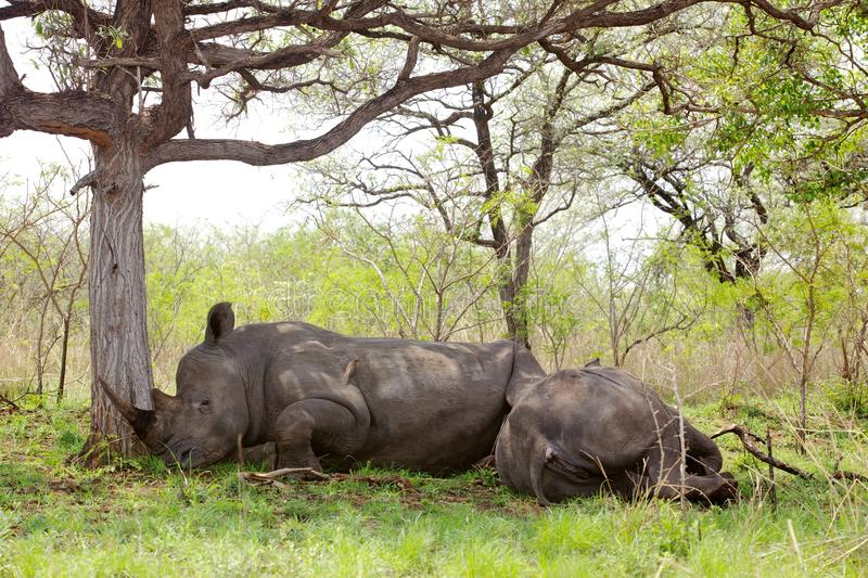 Sleeping Rhino. White rhino (Ceratotherium simum) resting in the Kruger National Park, South Africa stock photo