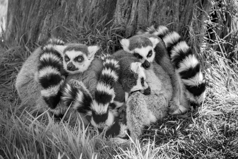 Sleeping Ring Tailed Lemurs. Black and white image of a group of sleeping Ring Tailed Lemurs royalty free stock photos