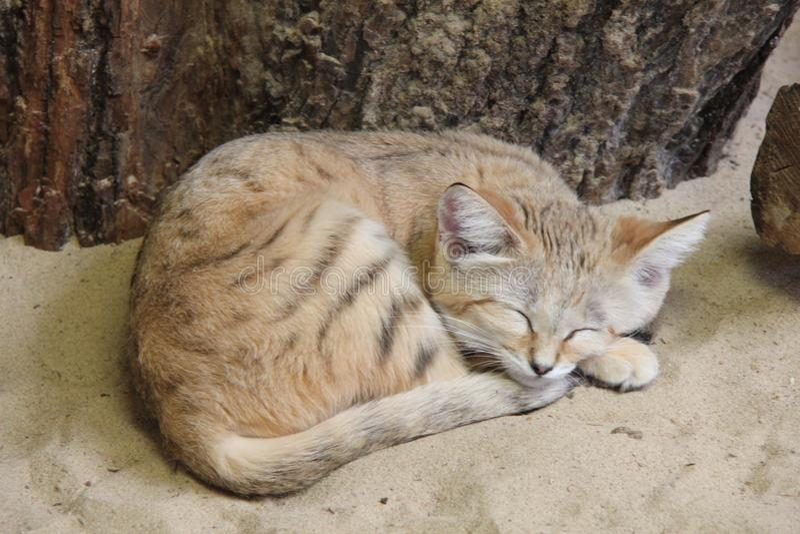 Sleeping sand cat. Sleeping cat on the sand royalty free stock photos