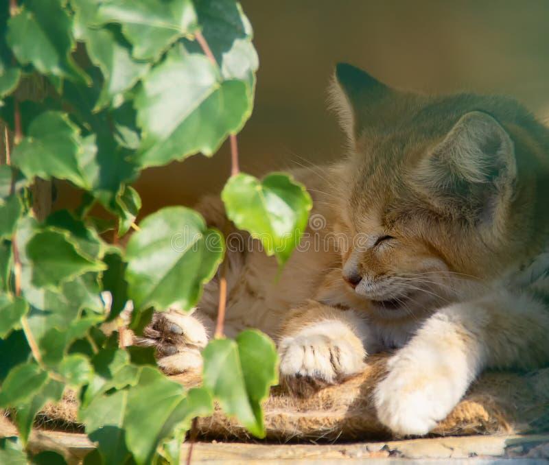 Sleeping sand cat. Sleeping and sunbathing sand cat royalty free stock images