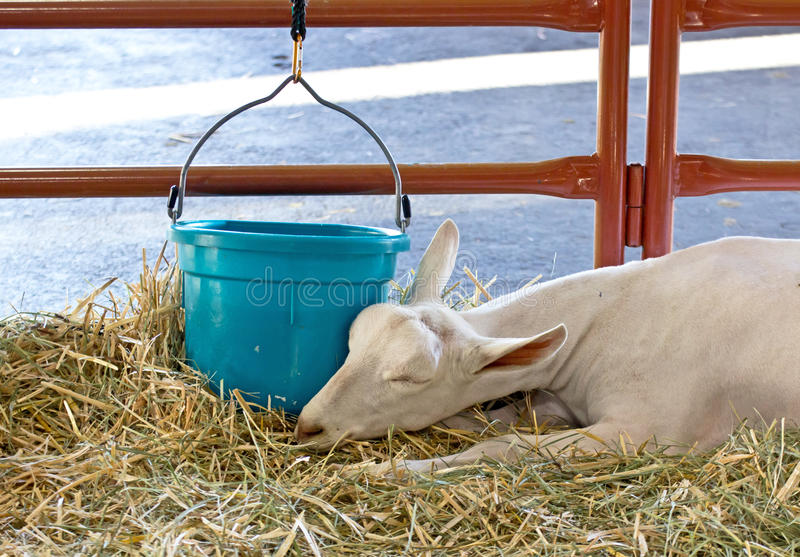 Sleeping Sannen Alpine Dairy Goat. Peacefully sleeping Sannen alpine dairy goat royalty free stock photography
