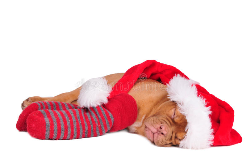 Sleeping Santa puppy stock photo
