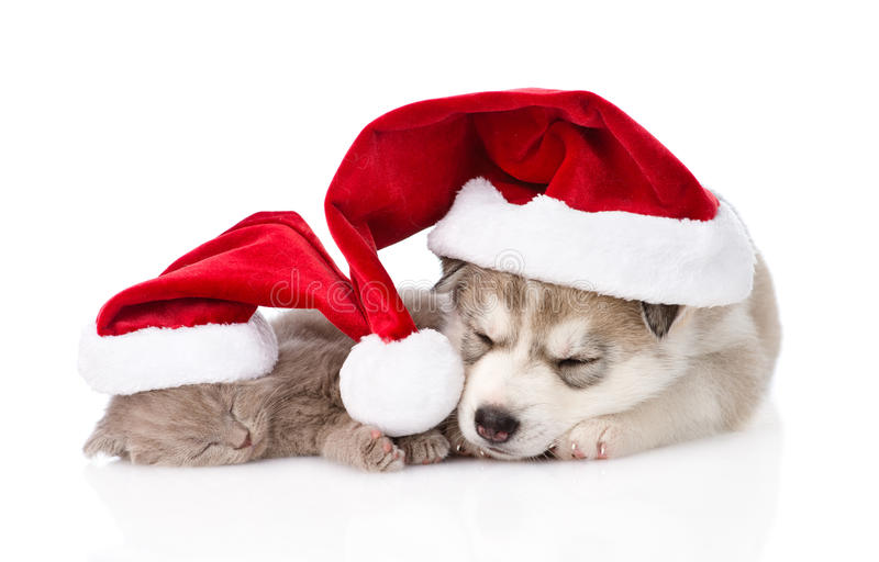 Sleeping scottish kitten and Siberian Husky puppy with santa hat. isolated. stock photography