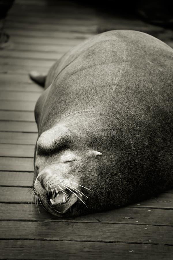 Sleeping sea lion on dock